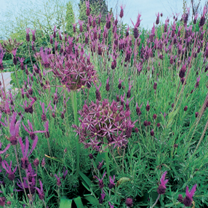 Lavandula stoechas con Allium christophii